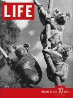 Life Magazine, January 10, 1938 - Koalas