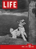 Life Magazine, April 5, 1937 - Terrier