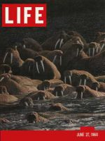 Life Magazine, June 27, 1960 - Alaska's animals, walruses