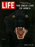 Life Magazine, January 6, 1967 - Black Leopard